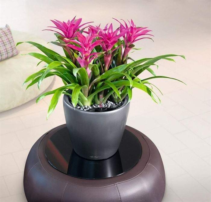 Guzmania çiçeği bakımı ve özellikleri