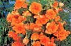 Askılı Saksılarla Begonya Çiçekleri