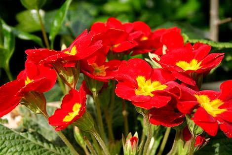 Kışın Bahçelerinize Ekeceğiniz Çiçekler 2